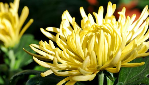 Chrysantheme Gelb